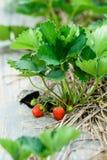 Φρέσκες ώριμες φράουλες από τη φυτεία στο αγρόκτημα Στοκ Φωτογραφίες