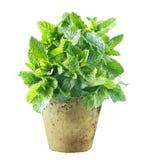Φρέσκια ανάπτυξη μεντών flowerpot στοκ εικόνες με δικαίωμα ελεύθερης χρήσης