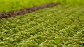 Φρέσκια ανάπτυξη σπανακιού και βασιλικού στο θερμοκήπιο απόθεμα βίντεο