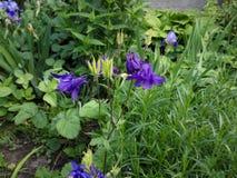 φρέσκια ανάπτυξη bellflower μεταξύ του θερινού κήπου Στοκ εικόνα με δικαίωμα ελεύθερης χρήσης