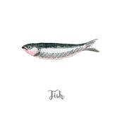 Φρέσκια απεικόνιση ψαριών Συρμένο χέρι watercolor στο άσπρο υπόβαθρο στοκ φωτογραφία