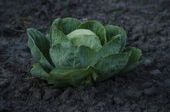 Φρέσκια επικεφαλής ανάπτυξη λάχανων στο αγρόκτημα Στοκ εικόνες με δικαίωμα ελεύθερης χρήσης