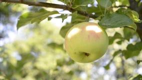 φρέσκια επιλογή μήλων απόθεμα βίντεο