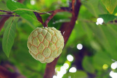 φρέσκια ζάχαρη μήλων Στοκ Φωτογραφίες