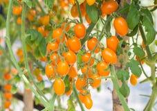 Φρέσκια κίτρινη ντομάτα κερασιών στον κλάδο Στοκ Φωτογραφία