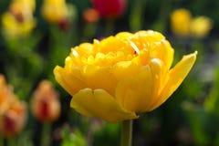 Φρέσκια κίτρινη τουλίπα στο θερμό φως του ήλιου Στοκ Φωτογραφίες