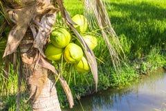 Φρέσκια καρύδα στο δέντρο, συστάδα καρύδων στο δέντρο καρύδων Στοκ φωτογραφίες με δικαίωμα ελεύθερης χρήσης