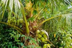 Φρέσκια καρύδα στο δέντρο, συστάδα καρύδων στο δέντρο καρύδων Στοκ Εικόνες