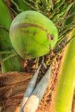 Φρέσκια καρύδα Στοκ Φωτογραφίες