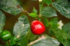Φρέσκια κόκκινη ανάπτυξη τσίλι στο δέντρο, κόκκινο τσίλι, δέντρο τσίλι Στοκ Εικόνα