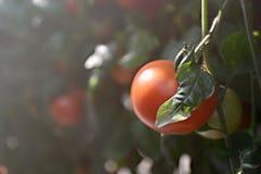 Φρέσκια κόκκινη ντομάτα στον κήπο Στοκ Εικόνες