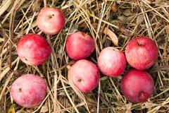 Φρέσκια κόκκινη συγκομιδή μήλων φθινοπώρου, εύγευστος οπωρώνας οικολογίας στοκ εικόνα με δικαίωμα ελεύθερης χρήσης