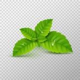 φρέσκια μέντα φύλλων Διανυσματικό υγιές άρωμα μεντών Βοτανικές εγκαταστάσεις φύσης Spearmint πράσινο βγάζει φύλλα διανυσματική απεικόνιση