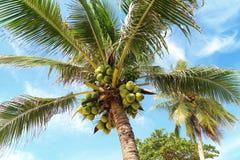 Φρέσκια νέα καρύδα στο δέντρο στοκ φωτογραφία με δικαίωμα ελεύθερης χρήσης