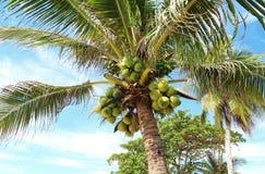 Φρέσκια νέα καρύδα στο δέντρο στοκ εικόνες