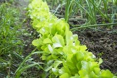 Φρέσκια νέα σειρά μαρουλιού στον κήπο, οργανική ανάπτυξη μαρουλιού, Στοκ Εικόνες