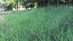 Φρέσκια νέα υψηλή πράσινη χλόη που ταλαντεύεται στον αέρα στη δασική άκρη το καλοκαίρι φιλμ μικρού μήκους