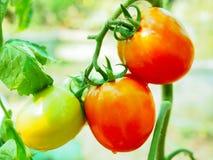 φρέσκια ντομάτα Στοκ εικόνες με δικαίωμα ελεύθερης χρήσης