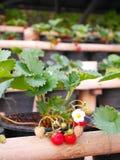 Φρέσκια οργανική φράουλα με τα πράσινα φύλλα στον κήπο Στοκ Εικόνες