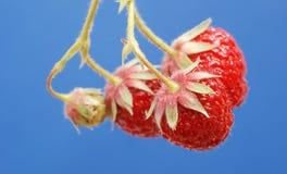 φρέσκια οργανική φράουλα Στοκ Εικόνα
