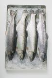 φρέσκια πέστροφα Στοκ φωτογραφία με δικαίωμα ελεύθερης χρήσης