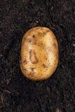 Φρέσκια πατάτα στο εδαφολογικό υπόβαθρο Στοκ Εικόνα