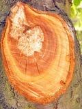 Φρέσκια περικοπή στο δέντρο Στοκ φωτογραφία με δικαίωμα ελεύθερης χρήσης