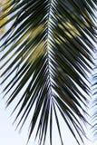 Φρέσκια πράσινη άδεια φοινικών με την όμορφη σύστασή του στοκ φωτογραφία