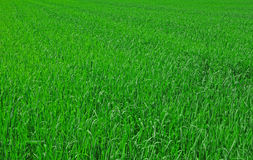 φρέσκια πράσινη άνοιξη χλόης Στοκ εικόνες με δικαίωμα ελεύθερης χρήσης