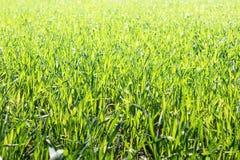 φρέσκια πράσινη άνοιξη χλόης Στοκ φωτογραφία με δικαίωμα ελεύθερης χρήσης