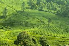Φρέσκια πράσινη άποψη κήπων τσαγιού στοκ φωτογραφία με δικαίωμα ελεύθερης χρήσης