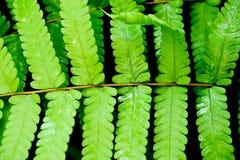 Φρέσκια πράσινη άδεια φτερών Στοκ Εικόνες