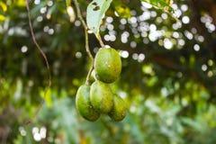 Φρέσκια πράσινη ελιά, (elaeocarpus) Στοκ φωτογραφία με δικαίωμα ελεύθερης χρήσης
