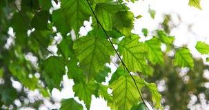 Φρέσκια πράσινη σημύδα liaves αναδρομικά φωτισμένη φιλμ μικρού μήκους