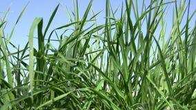 φρέσκια πράσινη υγιής άνοιξη χλόης απόθεμα βίντεο