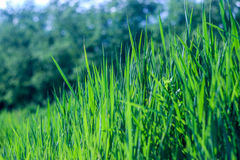 φρέσκια πράσινη υγιής άνοιξη χλόης Στοκ Φωτογραφία