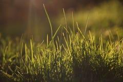 φρέσκια πράσινη υγιής άνοιξη χλόης Στοκ φωτογραφία με δικαίωμα ελεύθερης χρήσης