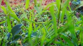 Φρέσκια πράσινη χαμηλή γωνία χλόης, με το φύσηγμα αέρα Η κάμερα βρίσκεται στο έδαφος και είναι στατική απόθεμα βίντεο