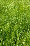 Φρέσκια πράσινη χλόη άνοιξη Στοκ εικόνες με δικαίωμα ελεύθερης χρήσης