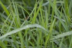 Φρέσκια πράσινη χλόη με Grasshopper στο φύλλο στοκ εικόνες