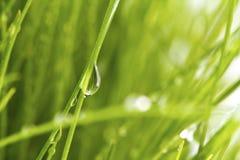 Φρέσκια πράσινη χλόη άνοιξη με τη δροσιά που απομονώνεται Στοκ Φωτογραφία