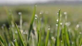 Φρέσκια πράσινη χλόη άνοιξη με τις πτώσεις δροσιάς φιλμ μικρού μήκους