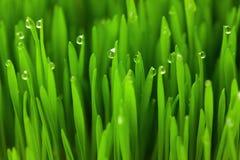 Φρέσκια πράσινη χλόη σίτου με τις πτώσεις/το μακρο υπόβαθρο Στοκ Φωτογραφίες