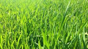 Φρέσκια πράσινη χλόη την άνοιξη απόθεμα βίντεο
