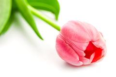 Φρέσκια ρόδινη τουλίπα - λουλούδι άνοιξη στο λευκό Στοκ Φωτογραφία