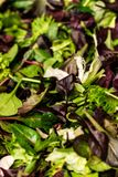 Φρέσκια σαλάτα με το μικτό arugula μαρουλιού πρασίνων, mesclun, mache στενό επάνω υγιές πράσινο γεύμα τροφίμων Στοκ Εικόνα