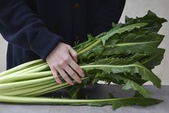 Φρέσκια σαλάτα Cicoria Catalogna ραδικιού στοκ φωτογραφία με δικαίωμα ελεύθερης χρήσης