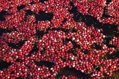 Φρέσκια συγκομιδή των βακκίνιων Στοκ εικόνα με δικαίωμα ελεύθερης χρήσης