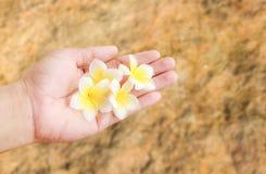 Φρέσκια τροπική Plumeria εκμετάλλευση χεριών λουλουδιών διαθέσιμη με τη θολωμένη πλάτη Στοκ εικόνα με δικαίωμα ελεύθερης χρήσης