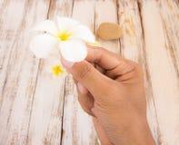 Φρέσκια τροπική Plumeria εκμετάλλευση χεριών λουλουδιών διαθέσιμη Στοκ Εικόνα
